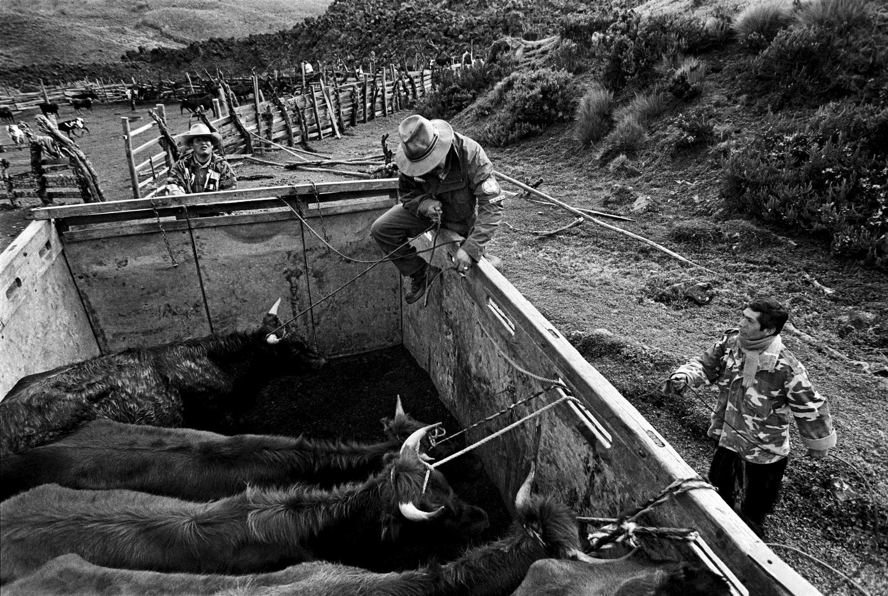 Ecuadorian Chagras mustering up bulls for the rodeo season in Puerte de la Muerte 2000