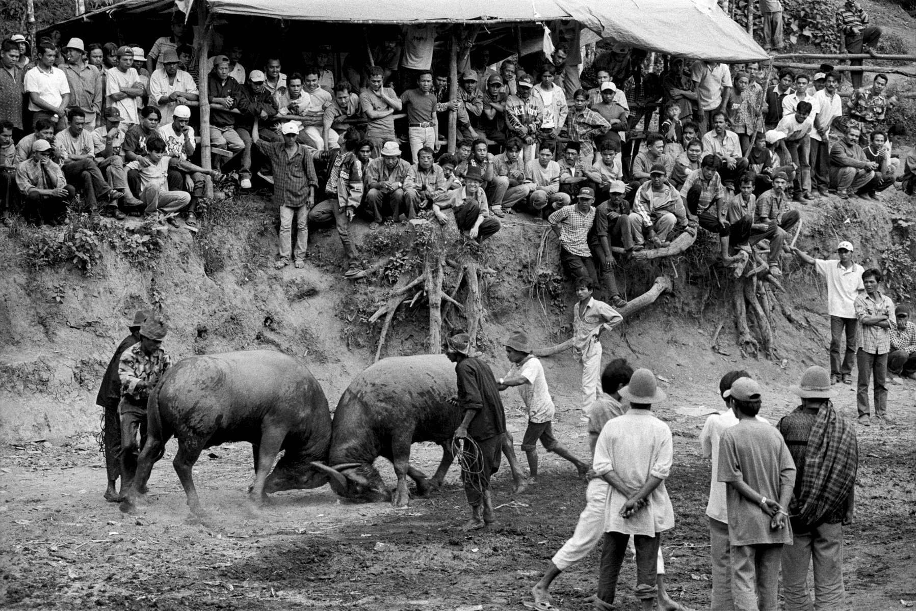 Buffalo fights in Sikabu, Central Sumatra, Indonesia 2003