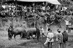 Buffalo fights in Sikabu, Central Sumatra, Indonesia 2003