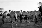 Camel herder, between Mogadishu and Merka, Somalia 2002