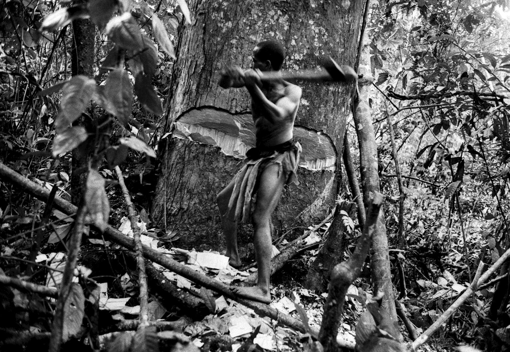 Pygmy man cutting down a tree to collect a bee hive deep in the equatorial forest, DRCongo 2004