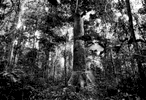 Logging in the Minkebe Reserve, Gabon 2002
