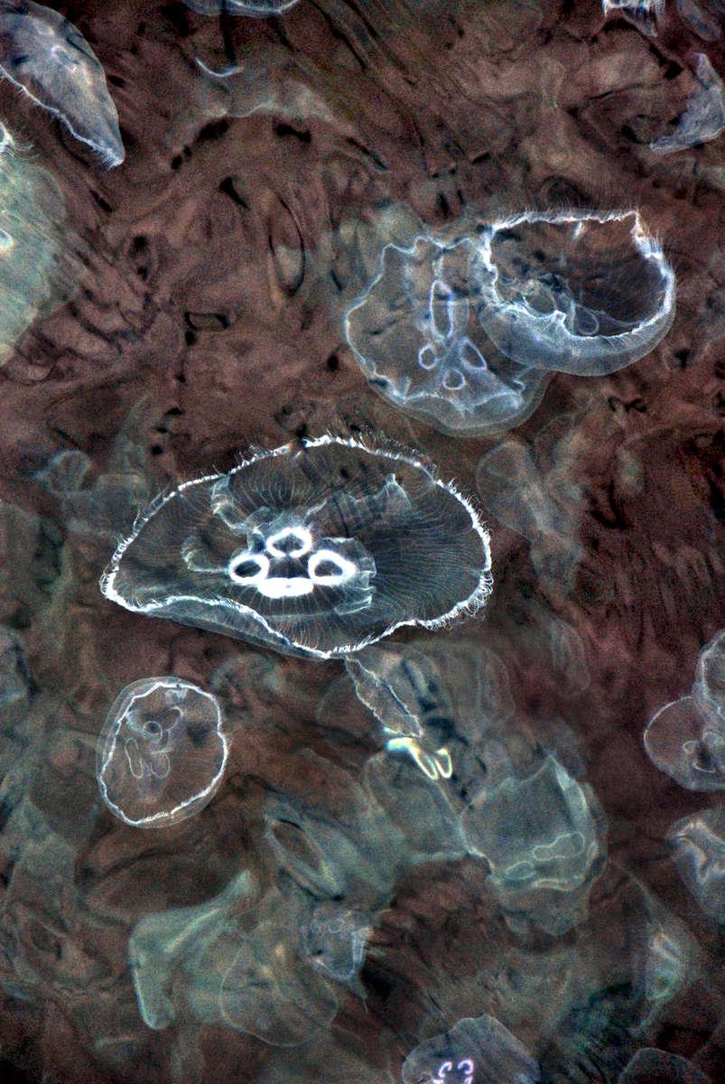 Bosphorus River jellyfish ll