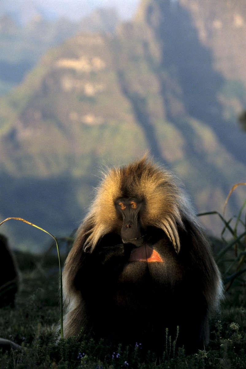 Gelada Baboon, Ethiopia