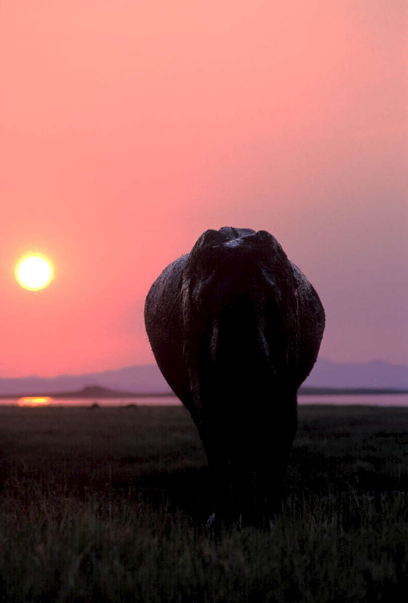 A lone elephant bull at sunset in Bumi Hills, Zimbabwe
