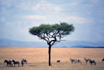 acacia_tree_animals-copy