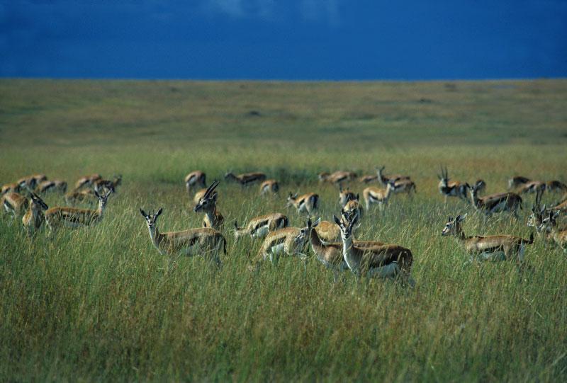 antelope-copy