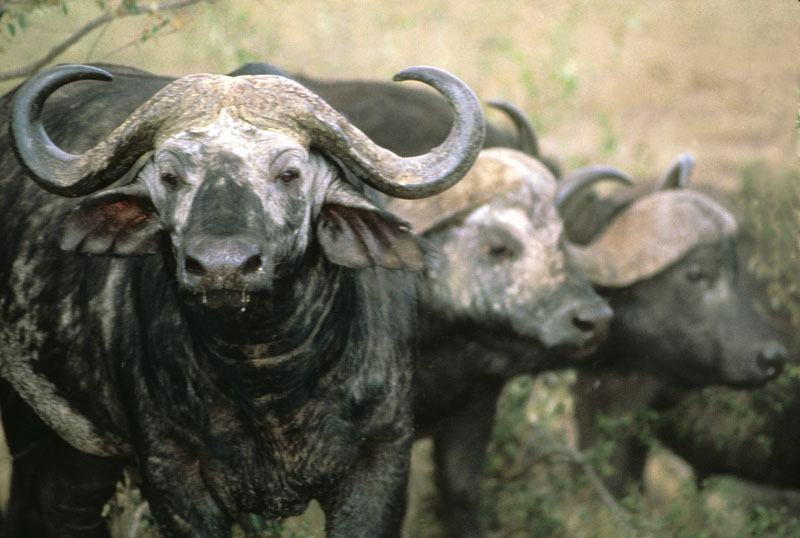 buffalo_closeup-copy