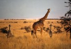 giraffe_2babies-copy