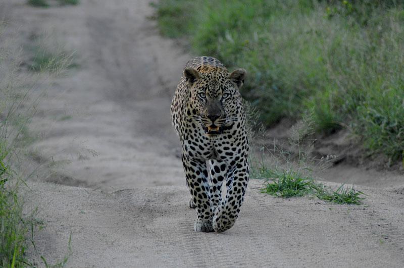 leopardOnRoad-copy
