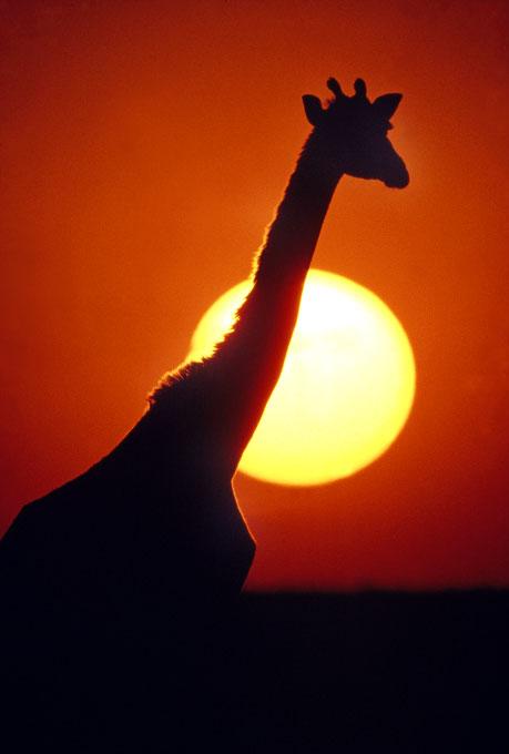 sillouite_giraffe_sun-copy
