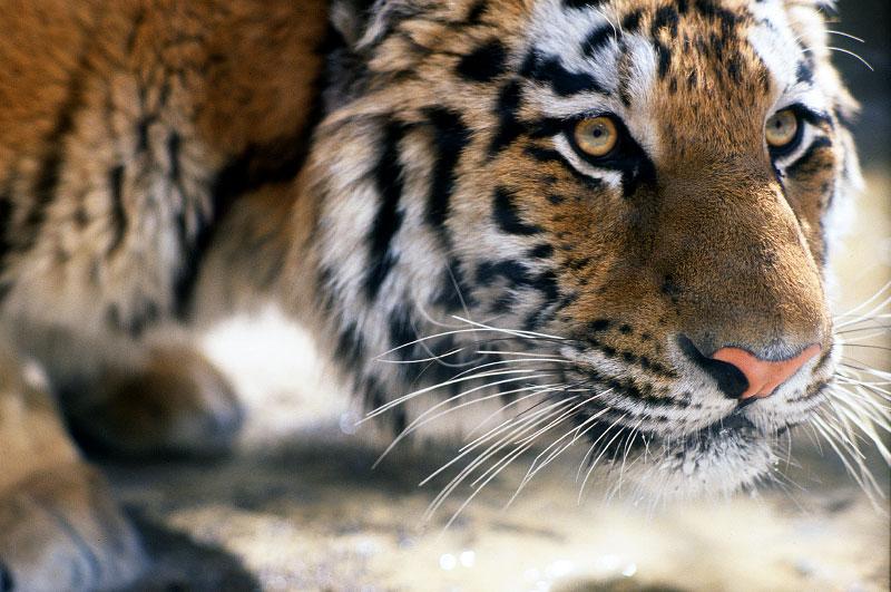 tiger4-copy