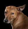 Animal-Dingo-MW