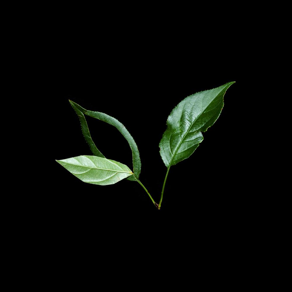 Still-Life-Leaf-Cut-MW