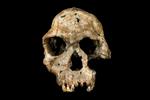 Leakey-White-Skull-ed