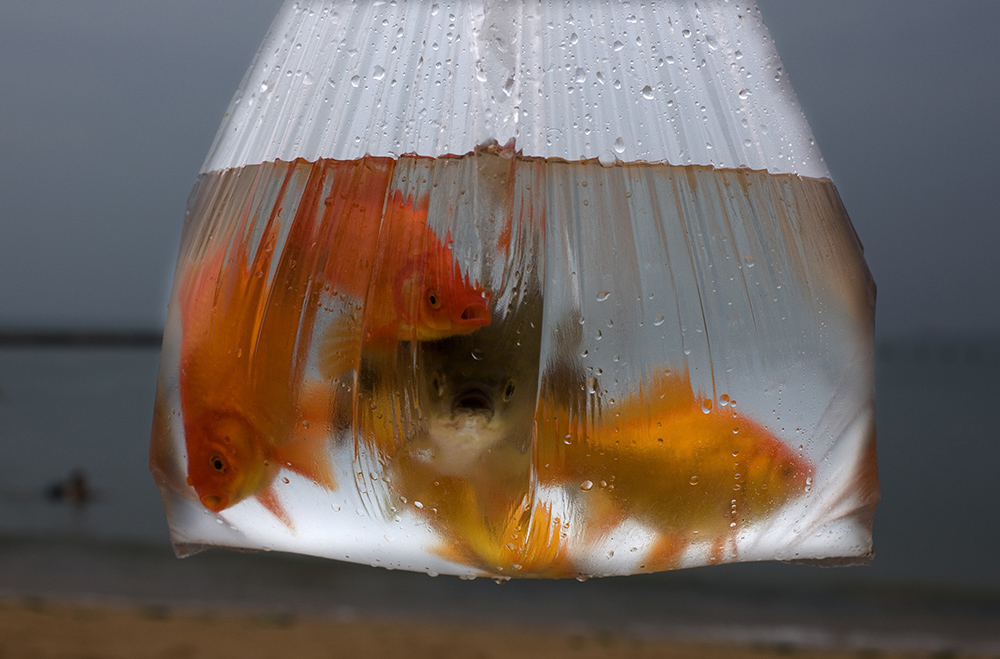 Fish are carried around in a plastic bag in Qingdao, Shandong province, China. As one of the most biodiverse countries in the world, China is home to 17.300 species of plants and animals. While urbanization and pollution are major factors of biodiversity loss, climate change also contributes to biodiversity loss by altering the structure of ecosystems according to a report by the Wilson Centre.@hessekatharina #everydayclimatechange #globalwarming #lossofbiodiversity#china #katharinahesse #fish