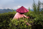 A worker removes weed around Camellia sinenis shrubs in Fujian province, China.Due to climate change the growing season in China's agriculture sector is lengthening, with an earlier spring and a later winter, and timing of fertilisation, irrigation, planting and harvesting must all change. Production processes are altered as their elements all change: Coastal farming regions such as Fujian province, are at risk of flooding, saltification, or erosion according to Xu Yinlong, a member of the Scientific Steering Committee leading UNEP's 'Programme of Research on Climate Change Vulnerability, Impacts and Adaptation'. In order to adapt, the tea planation in the image above has resolved to switching to an organic plantation higher up in a mountainous area. Not only the shrubs are less vulnerable to flooding , but in addition organic farming yields higher quality plants compared to conventional farming and tastes better. This is most likely because organic tea plants live under greater stress than conventional tea plants since farm managers don't apply the same amount of pesticides, fertilizers, and other chemicals to protect them. Under stress, organic plants produce more phyochemicals.#organicfarming #organic #climatechange #katharinahesse #teacultivation #有机 #fujian