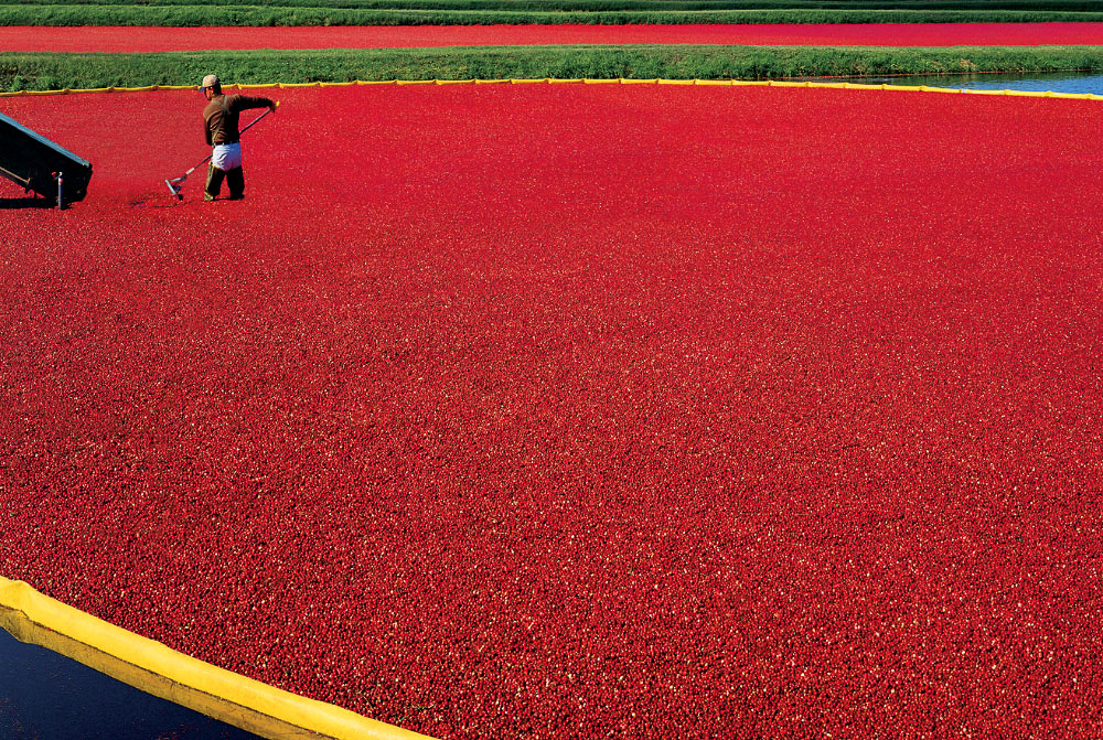Cranberry harvestWisconsin