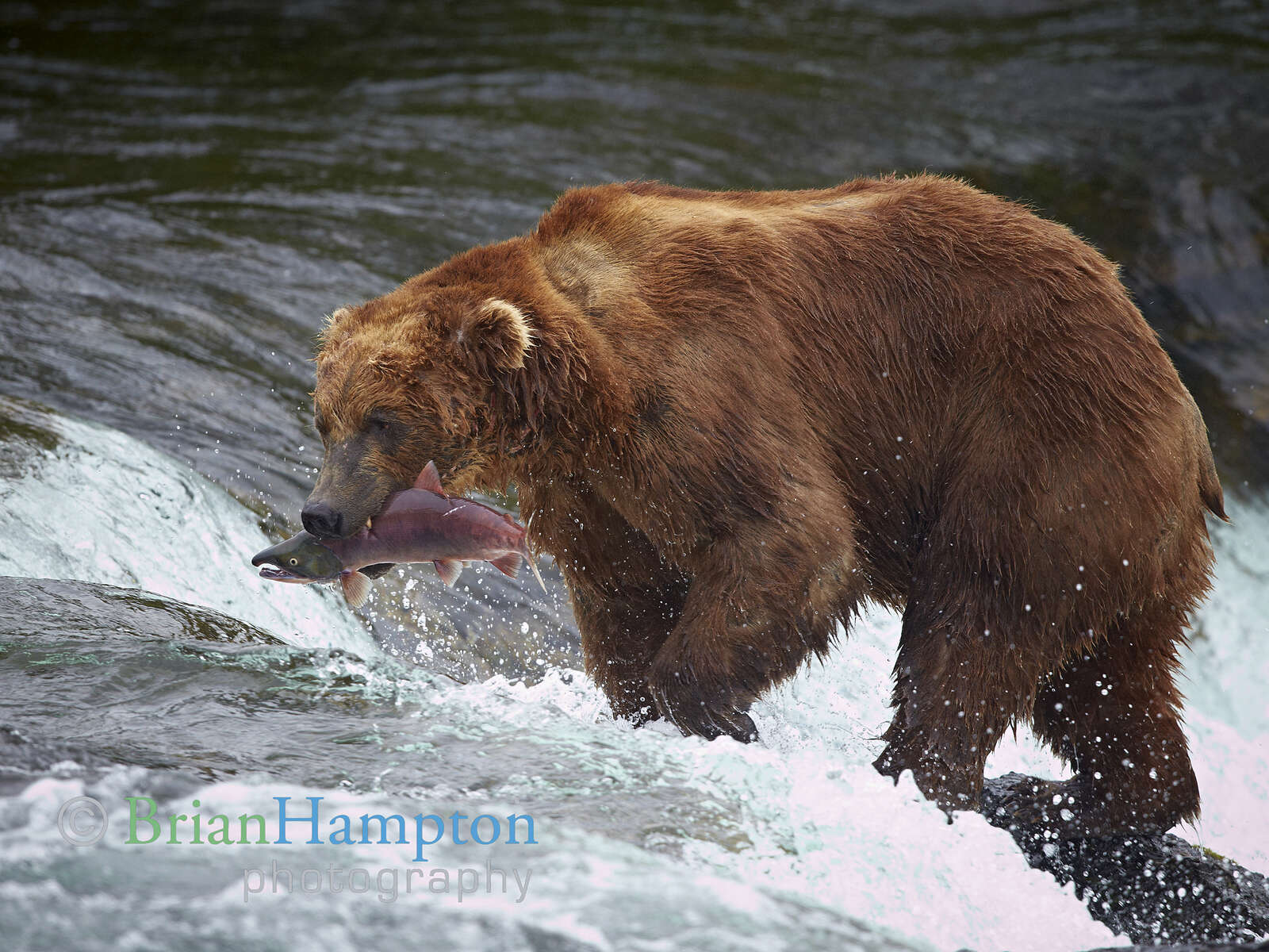 Alaska-Bear-2012_9191