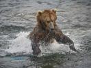 Bear-Alaska2015_7824-1