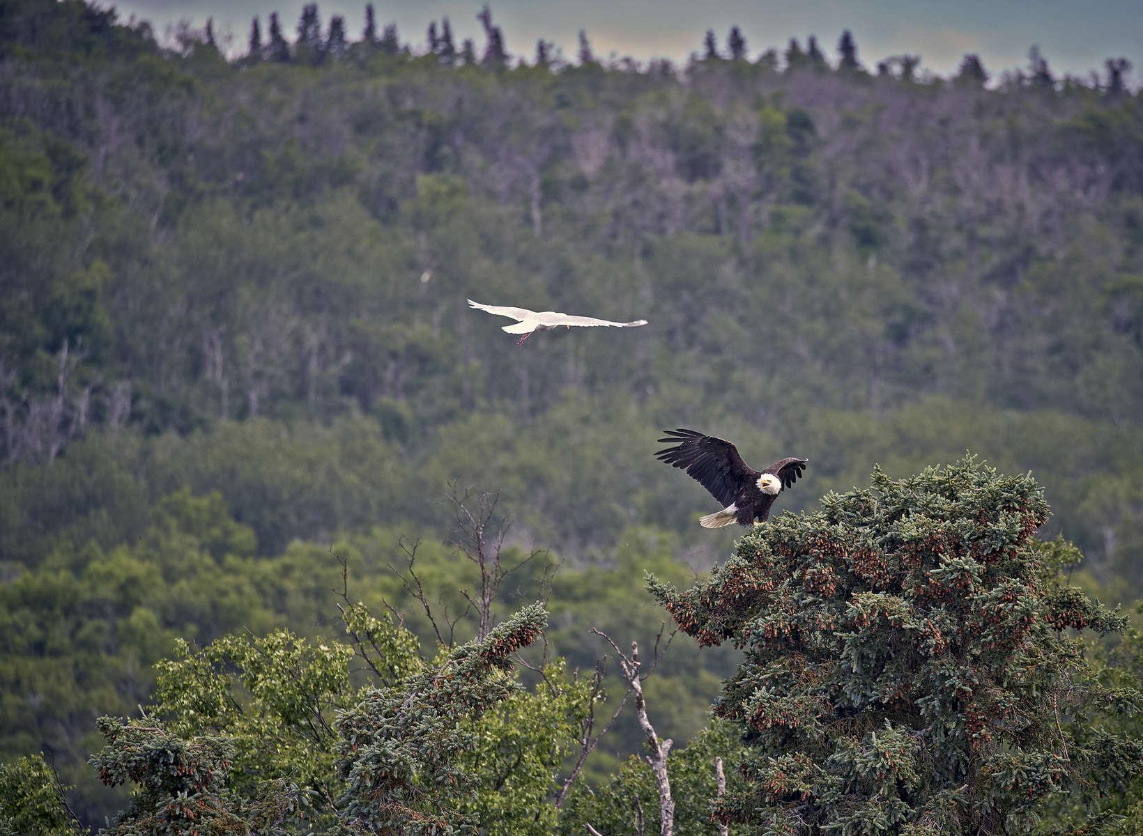 Blad-Eagle-Alaska-2015_7695