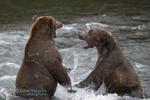 BrianHampton_Wildlife_NaturesBestApril2014_TerritoryFight_
