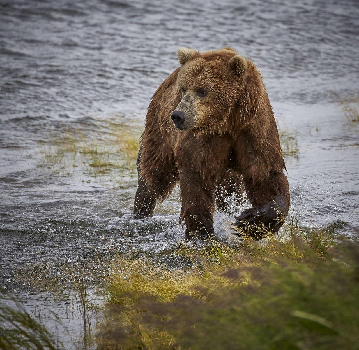 Brown Bear Alaska Penninsula