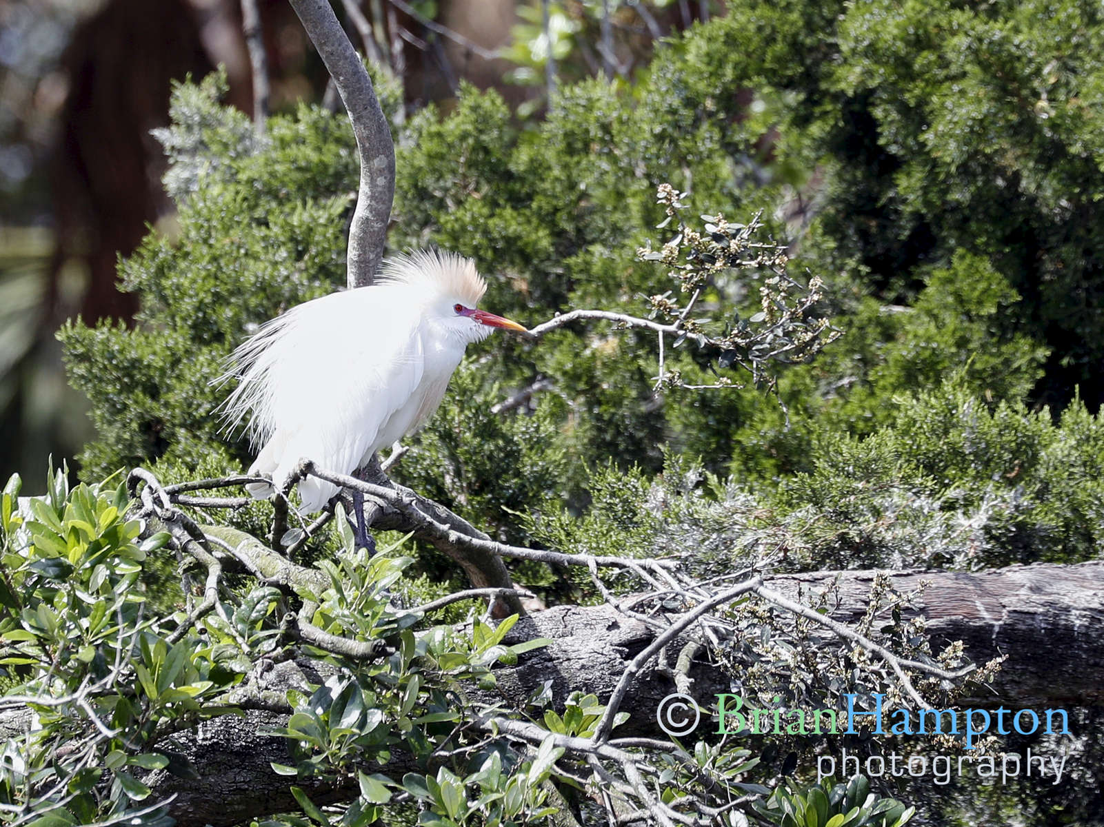 Cattle-Egret-mating-plumage-April2019_4224