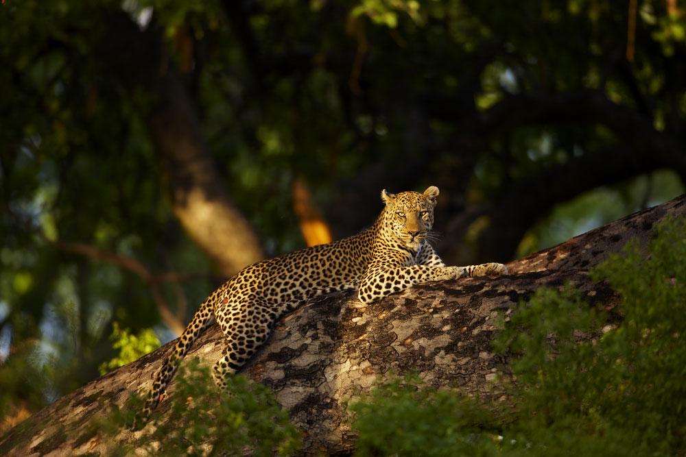 Chitabe Leopard