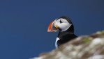 Puffin Profile