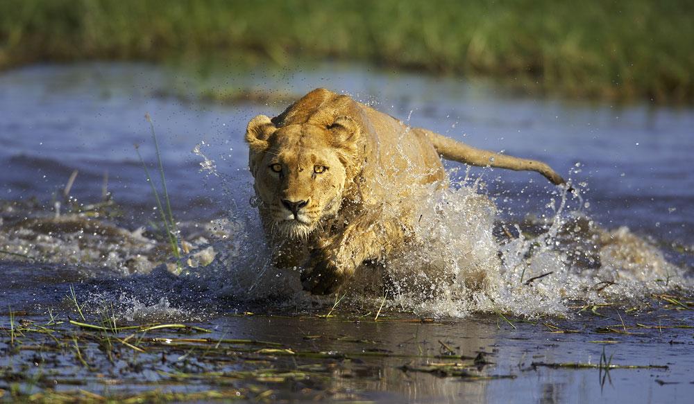 Crocodile Lion
