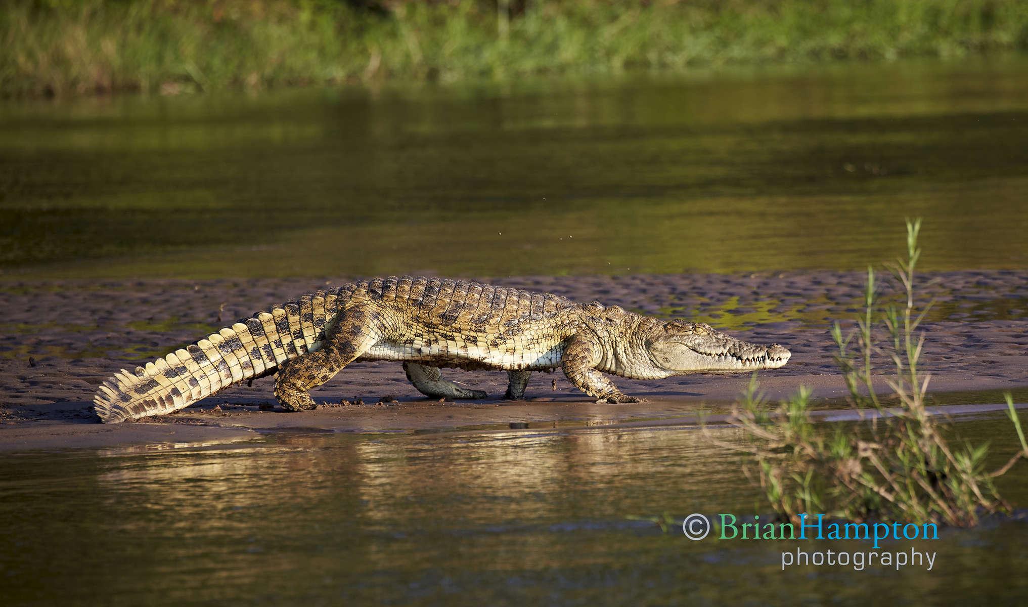 Zambeze Crocodile
