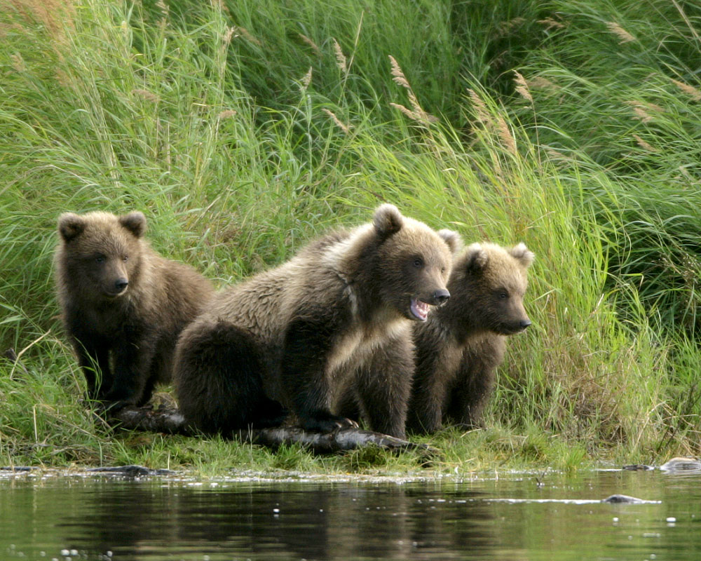 Cubs by the Stream