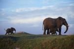 Duba Elephants