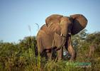 Zambeze Elephant