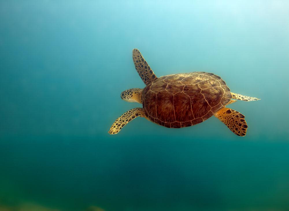 Endangered Green Turtle