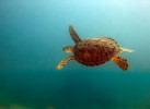 Endangered Green Turtle