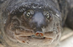 Everglades Soft Shell Turtle
