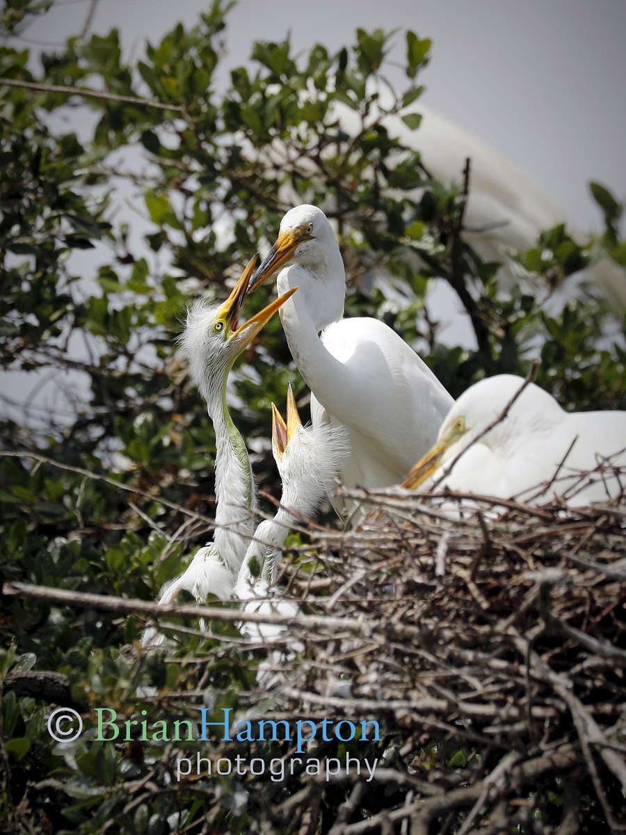 Great-Egret-chicks-fed-April2019_4184