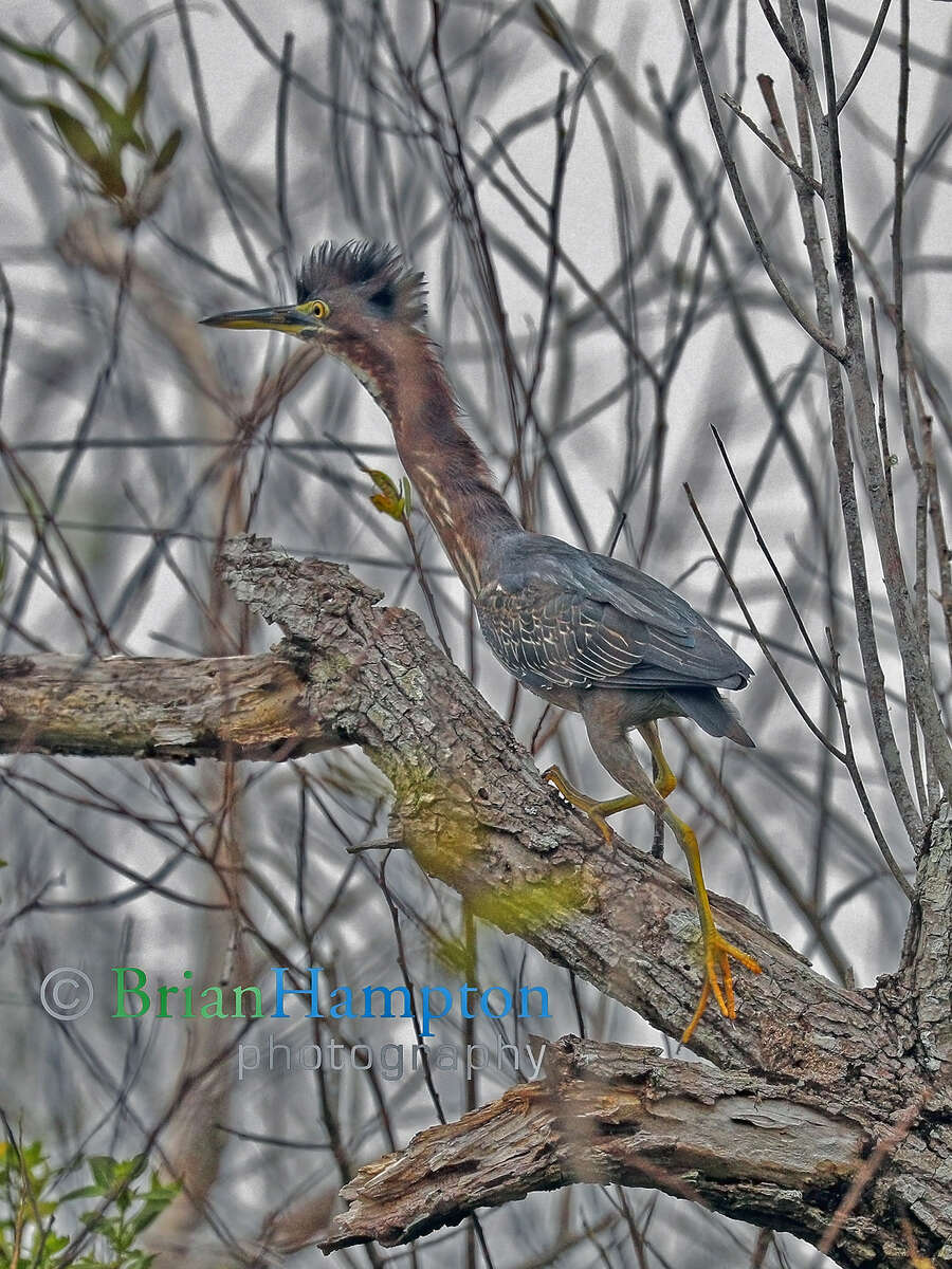 Green Heron Escape