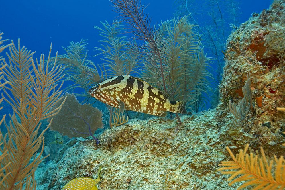Grouper Reef