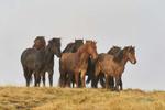 Icelandic-horses-Oct2014_0407