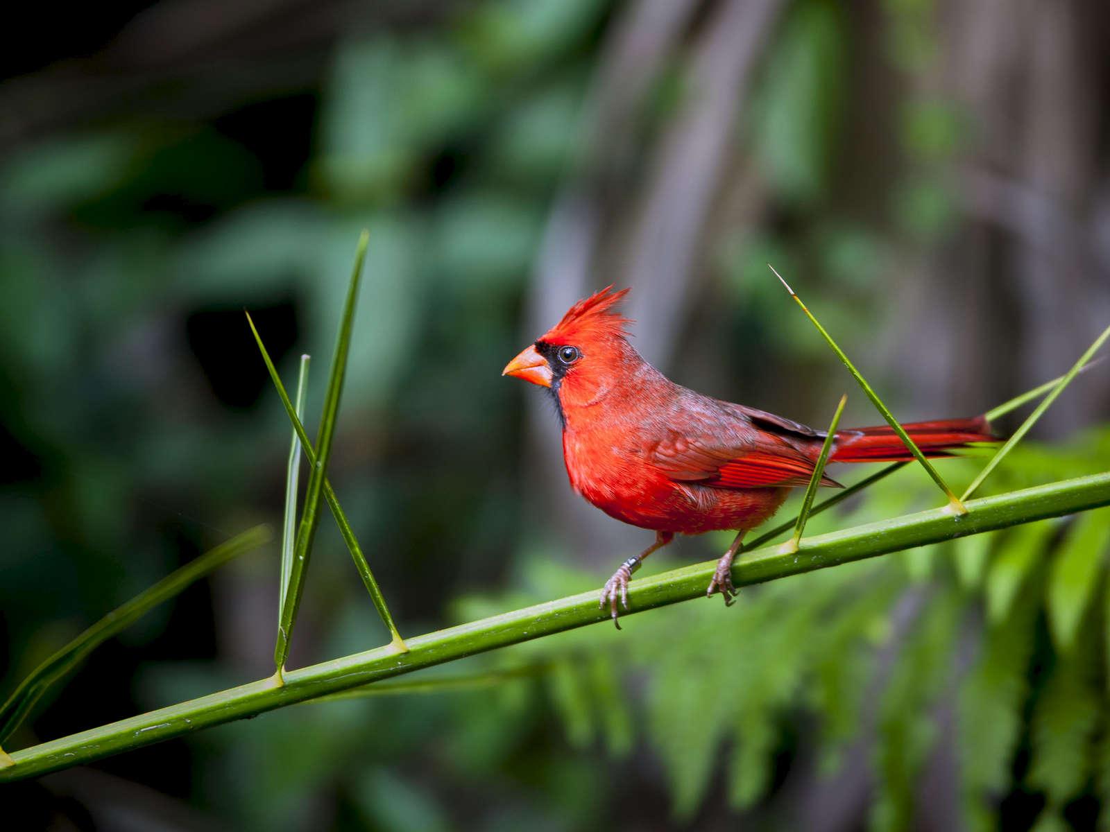 Male-Cardinal_0783