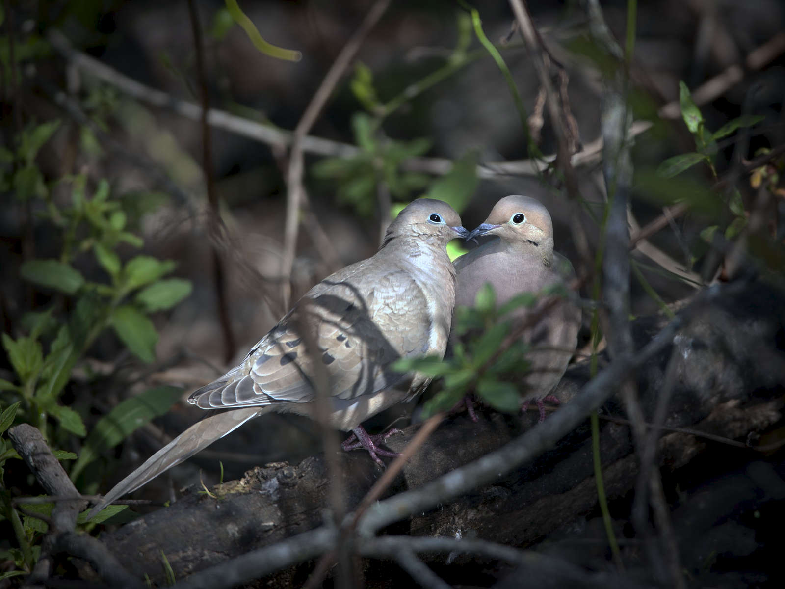 Mourning-Doves_3851