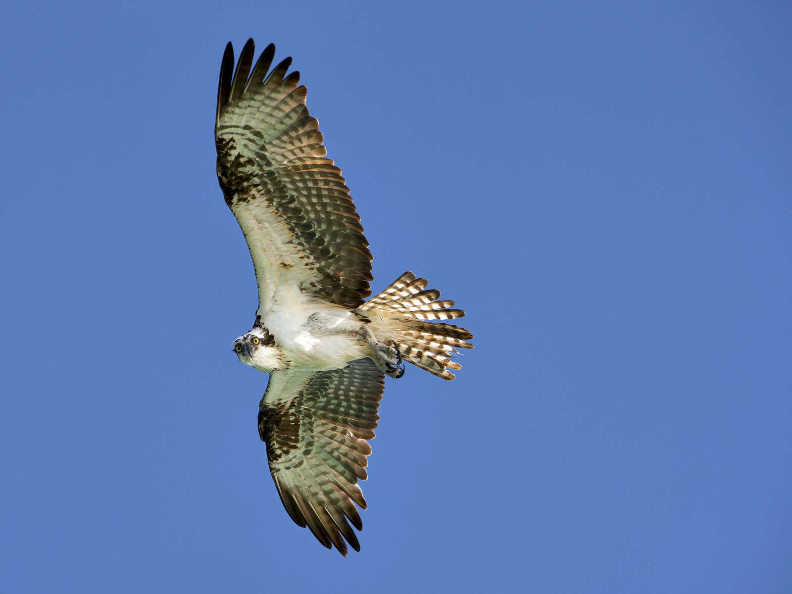 Osprey-in-Flight_1147
