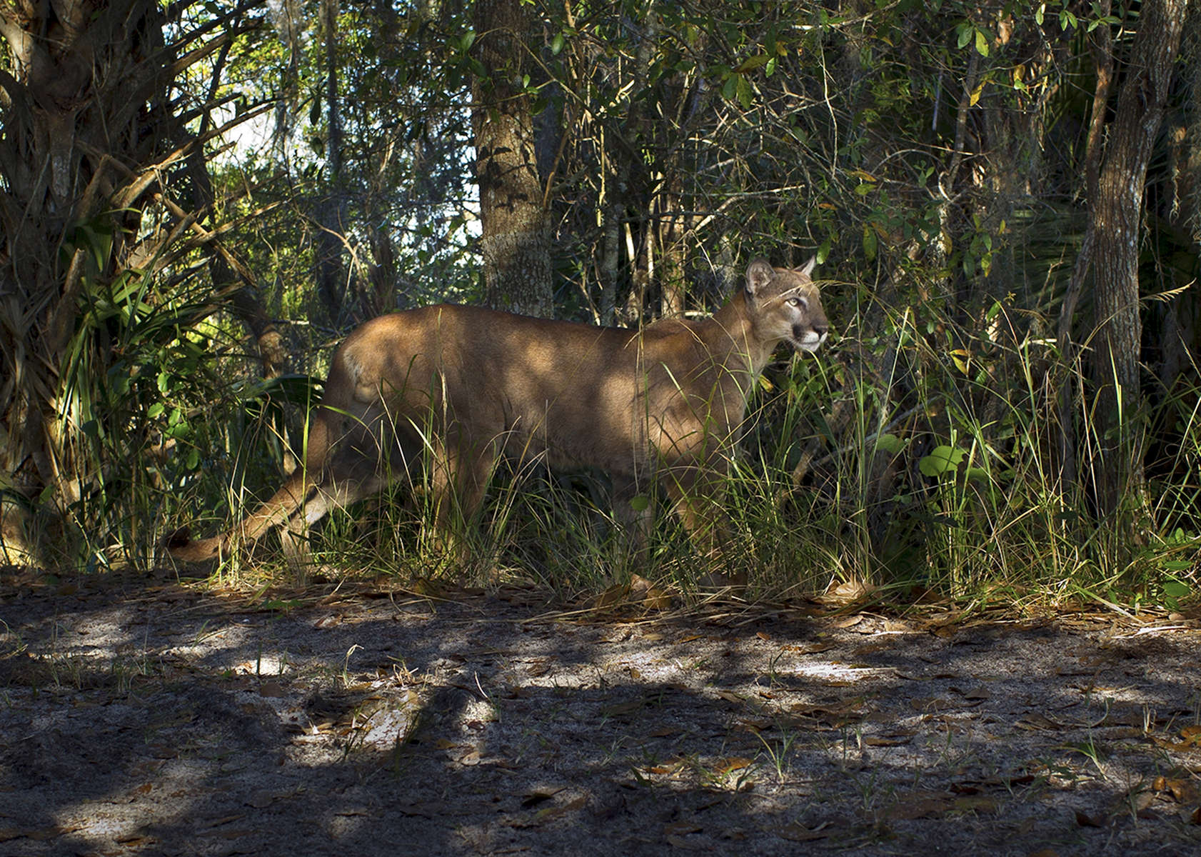 Panther-in-the-grass_8875