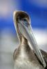Pelican Pause