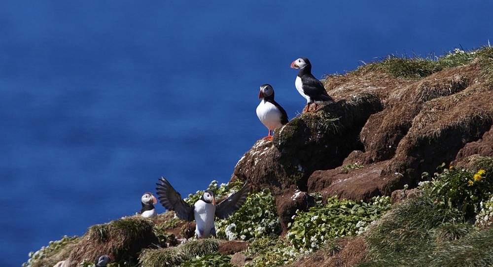 Puffins on Girmsley Island