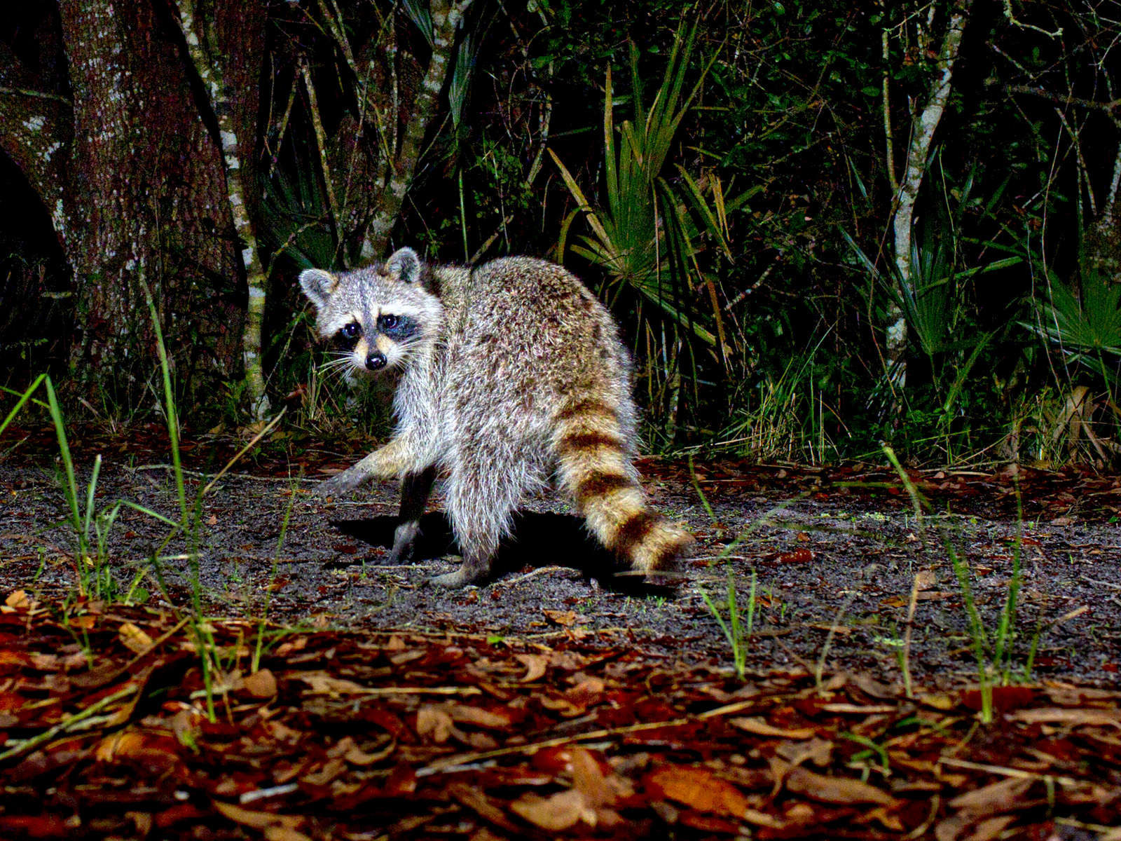Racoon-in-the-night_5777