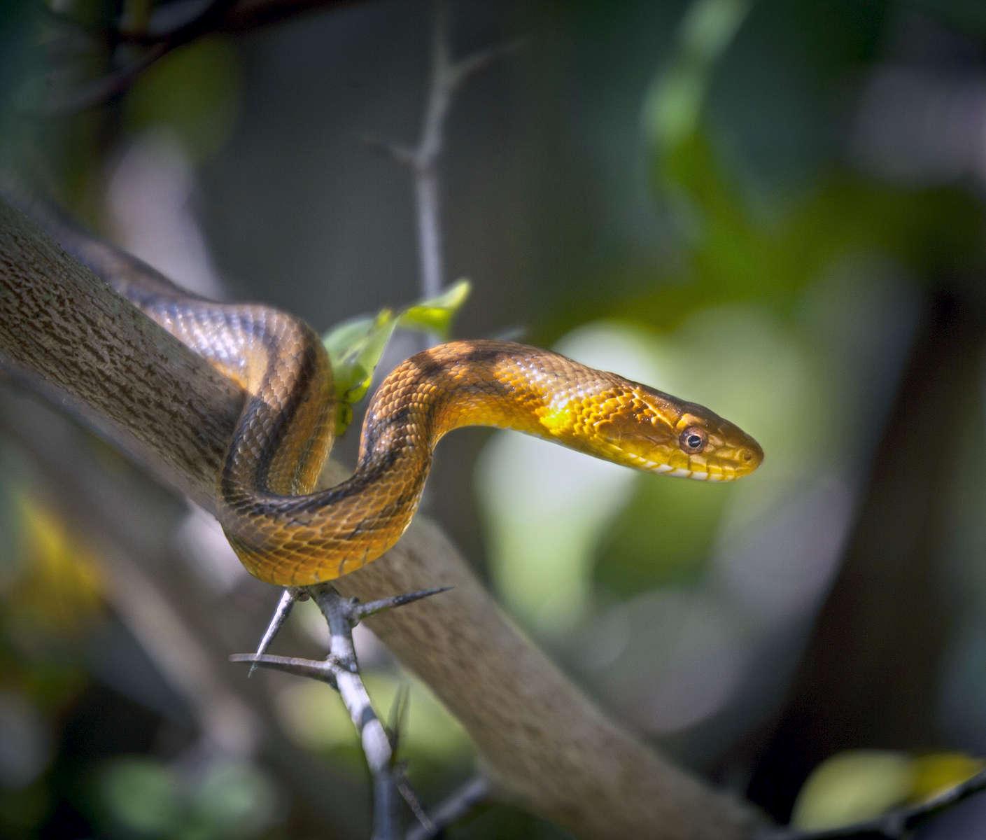 Rat-Snake_0439